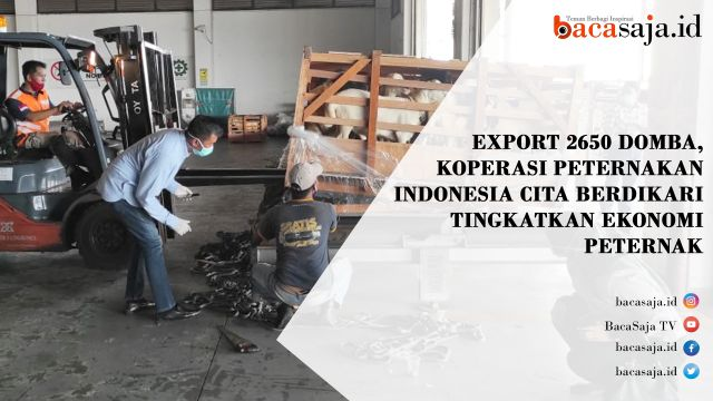 Video : Ekspor Domba Koperasi Peternak Indonesia Cita Berdikari